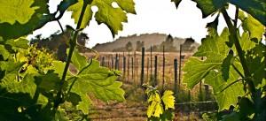 The vines at McCrorie Family Vineyard